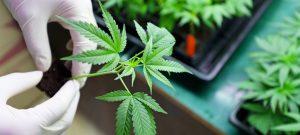 Cannabinoid Therapy Treatment
