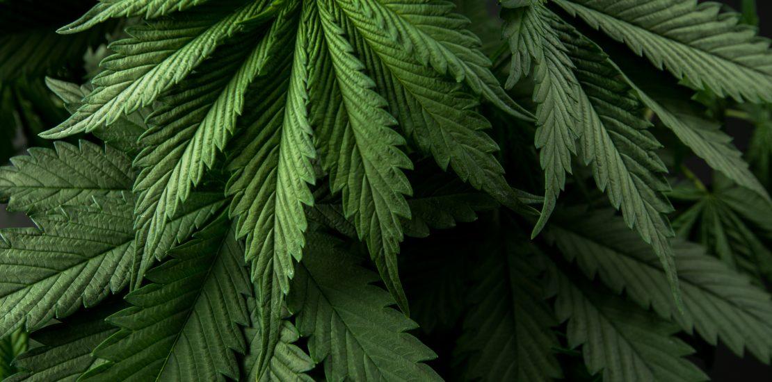 High-CBD Cannabis